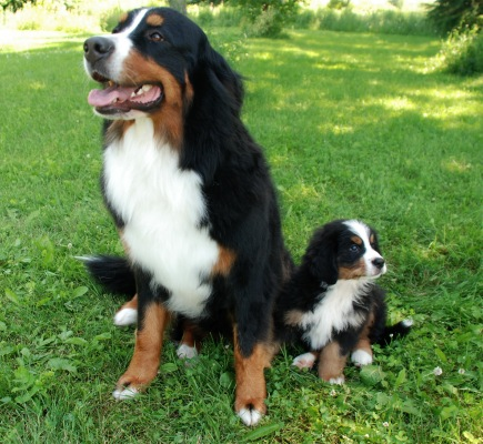 Our Bernese Mountain Dogs