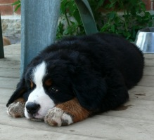 Image of Bernese Mountain Dog pup: Emmy