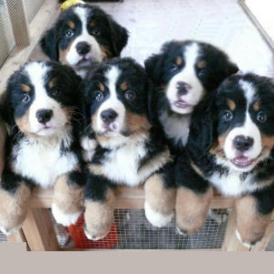 Bernese Mountain Dog Breeding Program