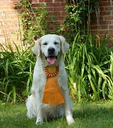 English Cream Golden Retriever: Ginny earning her CCA title