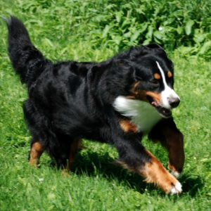 Bernese Mountain Dogs Breed Information