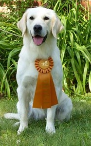 Image of English Cream Golden Retriever: Holly earning her CCA title