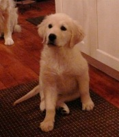 Image of Golden Retriever: Holly