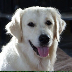 English Cream Golden Retriever: Jessee
