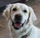 Image of Golden Retriever: Lily