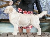 Image of Golden Retriever: Int & JHA Ch Montego Diamond Giselle