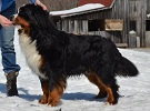 Bernese Mountain Dog image: Can Ch Mount Magic's Quest For Fire