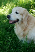 Golden Retriever image: Rupert