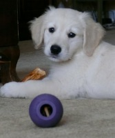 Golden Retriever puppy Rupert
