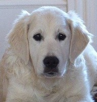 English Cream Golden Retriever: Sadie