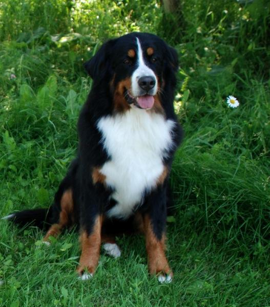 Ckc Regd Bernese Mountain Dog Sennenhof Orsina Glenbern