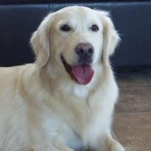 English Cream Golden Retriever: Syrup