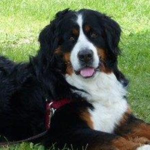 Bernese Mountain Dogs Breeder Glenbern Kennels Located In